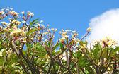 Groep van frangipani (plumeria) bloem bloeien tegen de blauwe — Stockfoto