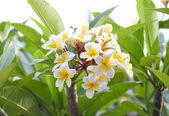 Frangipani (plumeria) flower blooming — Stock Photo