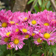 Pink chrysanthemum flowers — Stock Photo #34929177