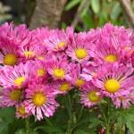 Pink chrysanthemum flowers — Stock Photo #34929177