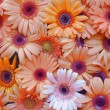 Gerbera flower wall — Stock Photo