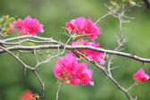 Pink bougainvillea flowers — Stock Photo