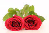 Two red roses on white background — Stock Photo