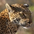 Female Leopard (Panthera pardus) - Botswana — Stock Photo