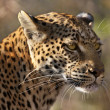 Stock Photo: Female Leopard (Pantherpardus) - Botswana