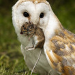 Barn Owl (Tyto alba) with a field mouse — Stock Photo #16877331