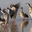 Stock Photo: EgyptiGeese - Botswana