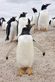Gentoo Penguins (Pygoscelis papua) - Falkland Islands — Stock Photo