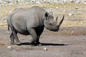 Black Rhinoceros - Namibia — Stock Photo