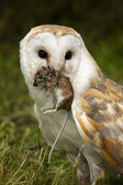 Barn Owl (Tyto alba) with a field mouse — Stock Photo