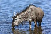 Wildebeest - Namibia — Stock Photo