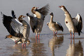 Egyptian Geese - Botswana — Stock Photo