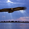 African Vulture - Chobe River in Botswana — Foto Stock