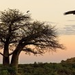 Stock Photo: Baobab Tree - Savuti in Botswana