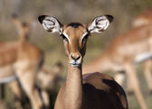 Female Impala - Botswana — Stock Photo