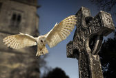 Barn Owl (Tyto alba) - Graveyard in England — Stock Photo