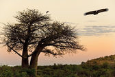Baobab Tree - Savuti in Botswana — Stock Photo