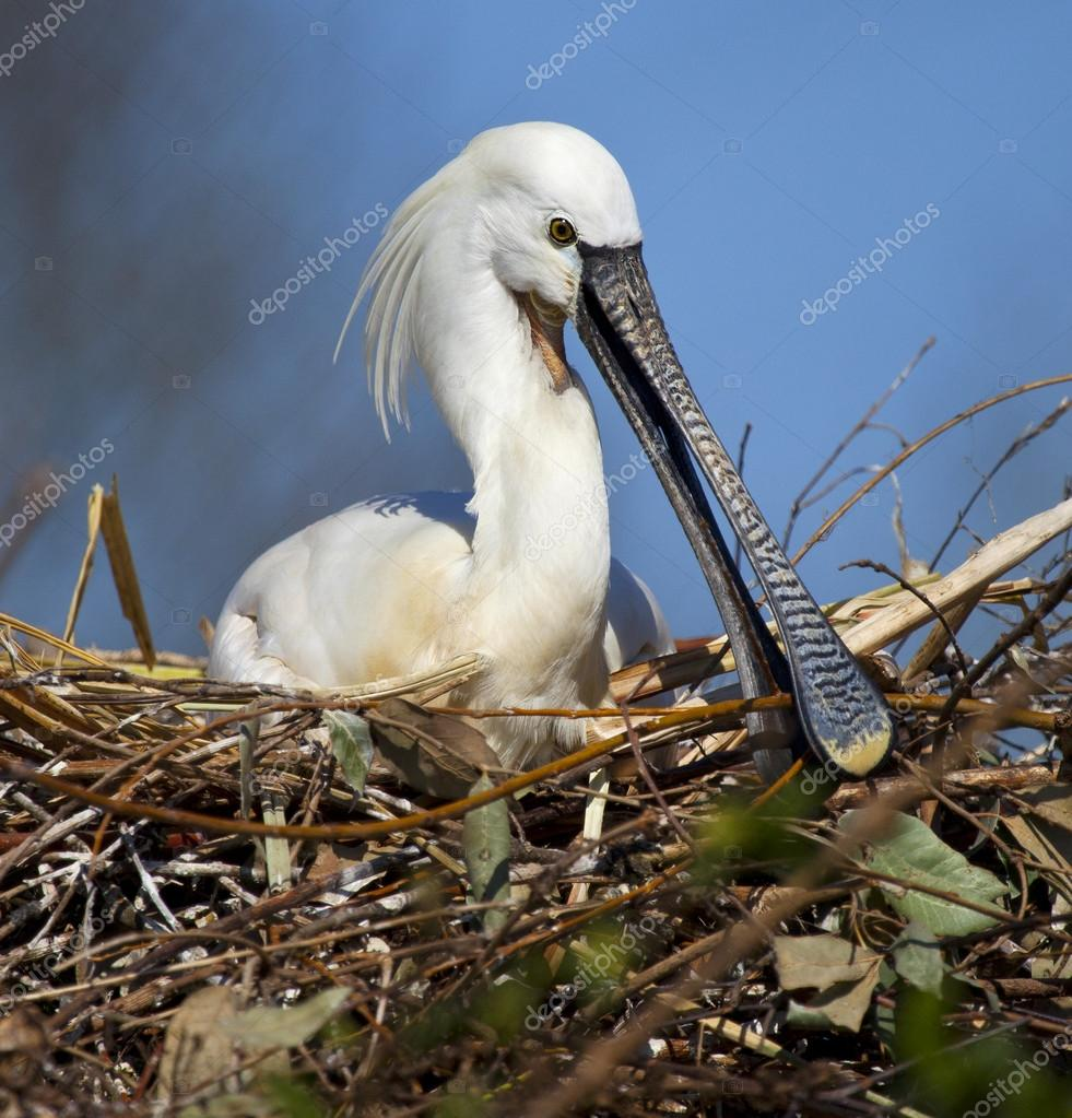 A Eurasian Spoonbill (Platalea leucorodia) on it's nest in the Shikoku region of Japan.  — Stock Photo #16888983