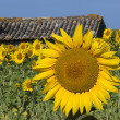 Sunflowers - South of France — Stock Photo #16915331