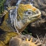 Galapagos Land Iguana - Galapagos Islands — Stock Photo #16916369