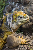 Galapagos Land Iguana - Galapagos Islands — Stock Photo