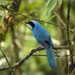 Turquoise Jay - Mindo Cloud Forest - Ecuador - Stock Photo