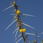 Acacia Tree in Etosha National Park - Namibia — Stock Photo #16972449