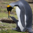 Stock Photo: King Penguin with chick - Falkland Islands