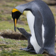 King Penguin with chick - Falkland Islands — Stock Photo