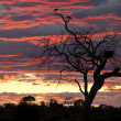 Stock Photo: Marabou Storks at sunset - Botswana