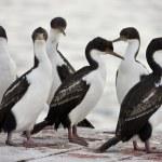 Blue-eyed Cormorant - Falkland Islands — Stock Photo #16975061