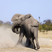 Two Elephants fighting - Savuti region of Botswana — Stok fotoğraf