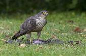 Sparrowhawk on it — Stock Photo