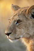 Lioness - Okavango Delta - Botswana — Stock Photo