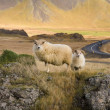 moutons islandais - Islande — Photo