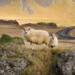 アイスランドのヒツジ - アイスランド — ストック写真
