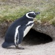 Stock Photo: Magellanic Penguin (Spheniscus magellanicus)