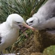 Stock Photo: Black-browed Albatross (Thalassarche melanophrys)