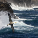 Waved Albatross - Galapagos Islands — Stock Photo