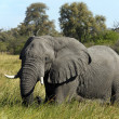 Stock Photo: Elephant - Savuti - Botswana