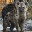 Spotted Hyaena cubs - Etosha National Park - Namibia — Stock Photo