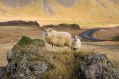 Icelandic Sheep - Iceland — Stock Photo