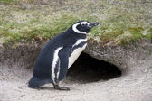 Magellanic Penguin (Spheniscus magellanicus) — Stock Photo