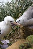 Black-browed Albatross (Thalassarche melanophrys) — Stock Photo