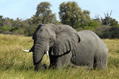 Elephant - Savuti - Botswana — Stock Photo