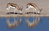 Springbok Antelope - Namibia — Stock Photo