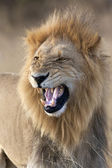 Lion (Panthera leo) - Botswana — Stock Photo