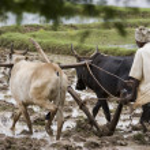 Paddy Field - Tamil Nadu - India — Stock Photo