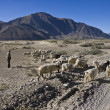 Stock Photo: Shepherd with goat herd near Tsetang in Tibet