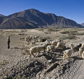 Shepherd with goat herd near Tsetang in Tibet — Stock Photo